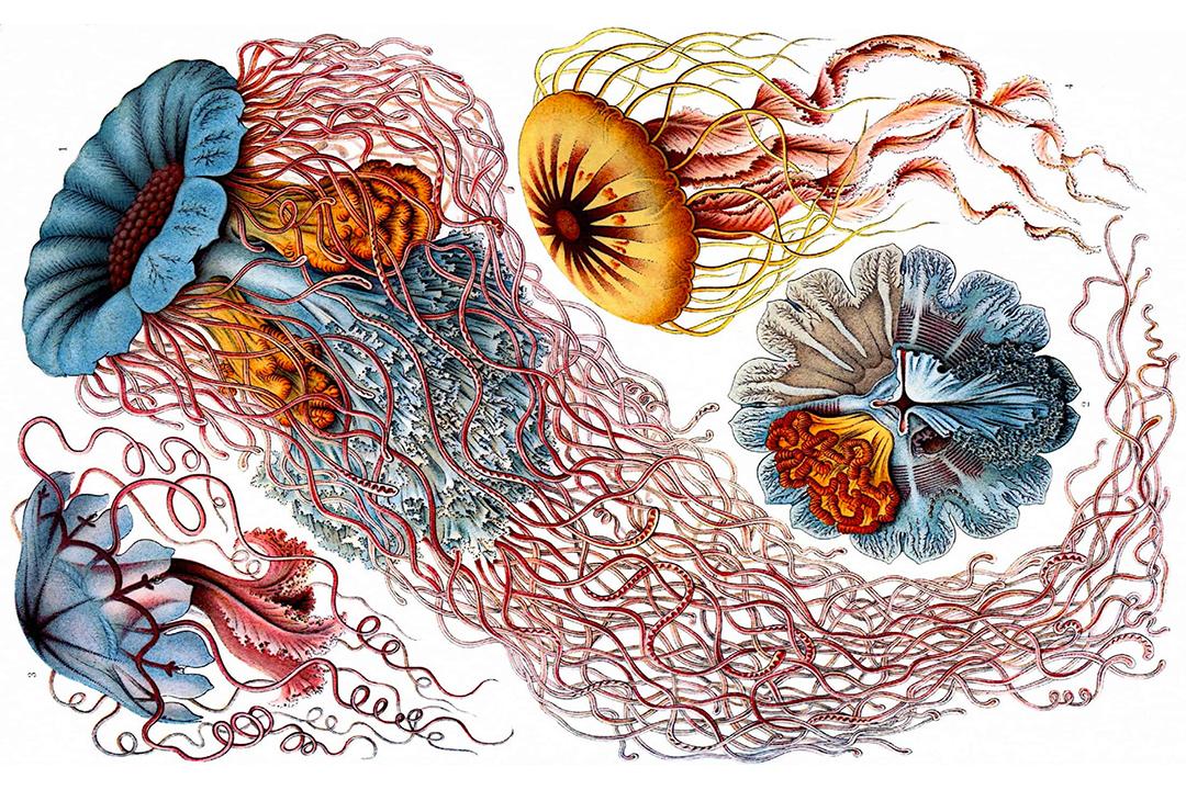 IMAGE: Haeckel 2