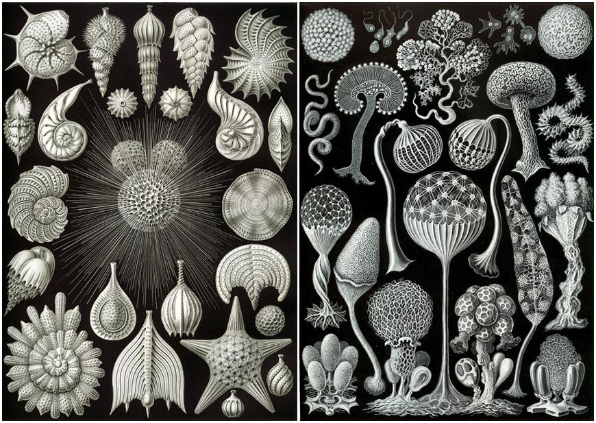 IMAGE: Haeckel 1